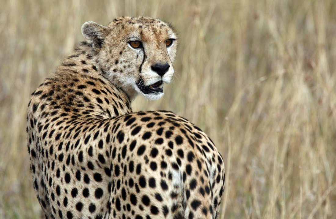 Keeping cheetahs and other wild animals as pets is now illegal in the UAE