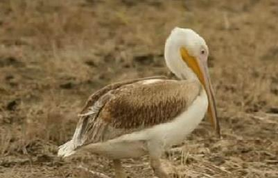 A pelican named Columbus